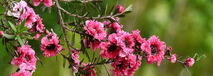 Manuka Blüte